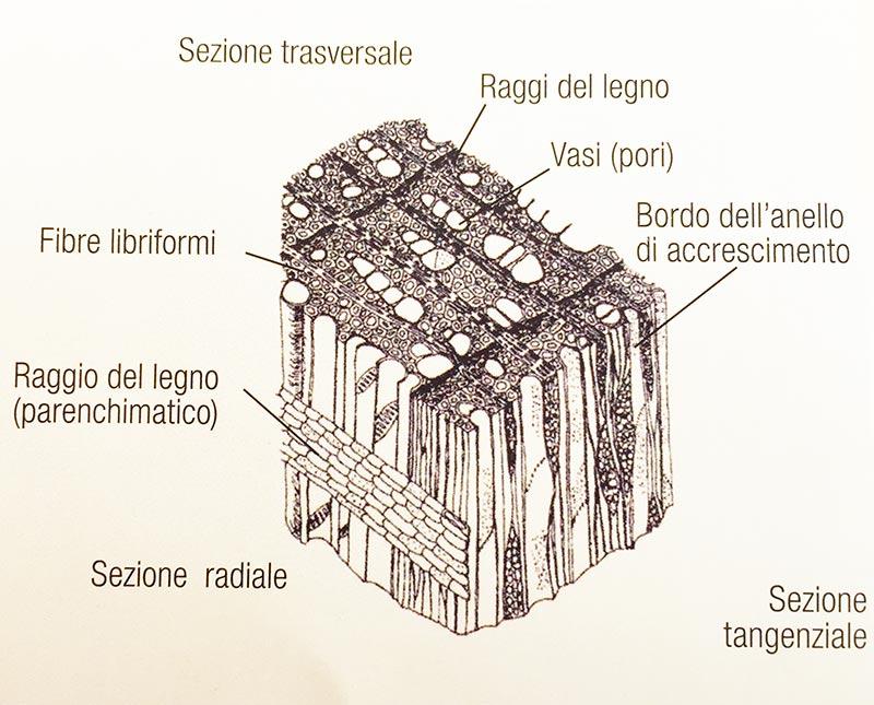 struttura-microscopica-legno latifoglia porosità diffusa
