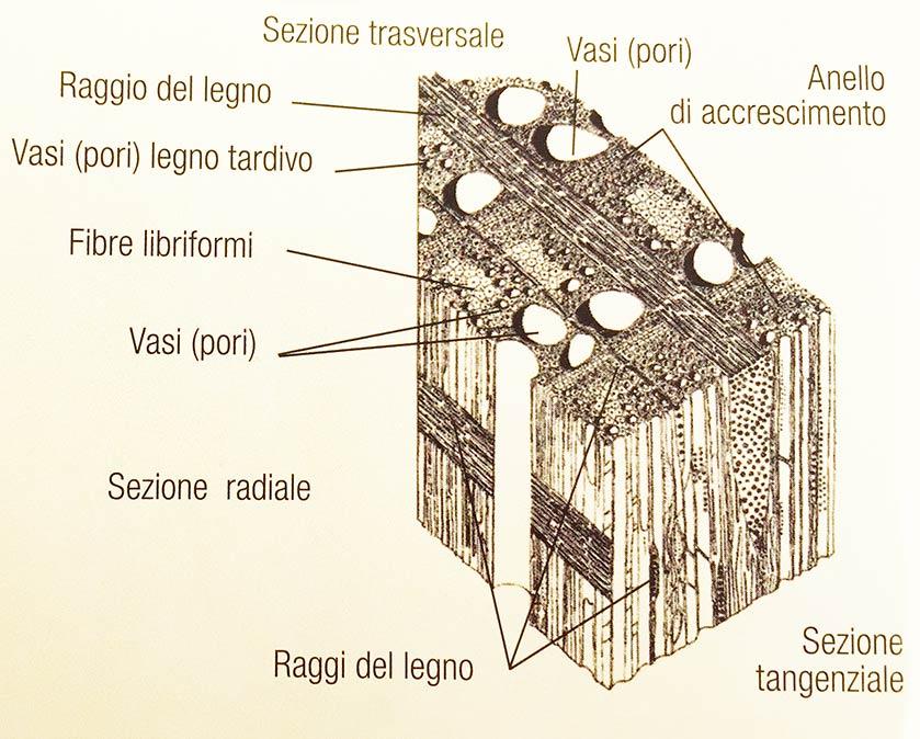 struttura-microscopica legno latifoglia porosità anulare